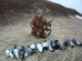 охота , 13 гусей